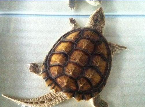 乌龟背甲较圆,龟甲上分布着13块坚硬的凸起,直径大约有二十多厘米