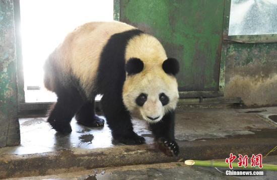 中新网3月13日电 中国大熊猫保护研究中心官方微博12日发布《对兰州大熊猫蜀兰综合评估及处置措施情况通报》。通报称,兰州市动物园熊猫馆已不能满足现在大熊猫饲养管理需求,大熊猫蜀兰将被转移到中国大熊猫保护研究中心都江堰基地,进行全面体检和代养调理。  大熊猫蜀兰 资料图 中新社记者 杨艳敏 摄   通报称,按照国家林业局的统一部署和兰州市动物园的请求,中国大熊猫保护研究中心于3月7~9日派出三名技术专家前往兰州市动物园对大熊猫蜀兰的健康状况和饲养管理条件进行了综合评估:   一、大