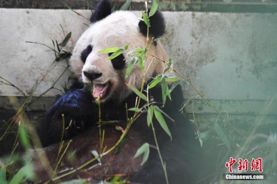 """兰州动物园大熊猫""""蜀兰""""将赴成都代养调理"""