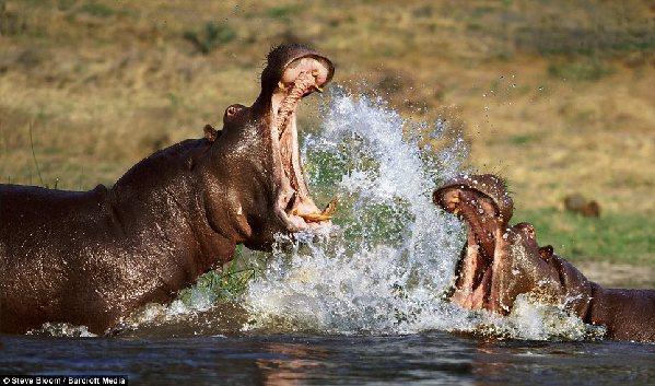 盘点野生动物生死搏斗的精彩瞬间