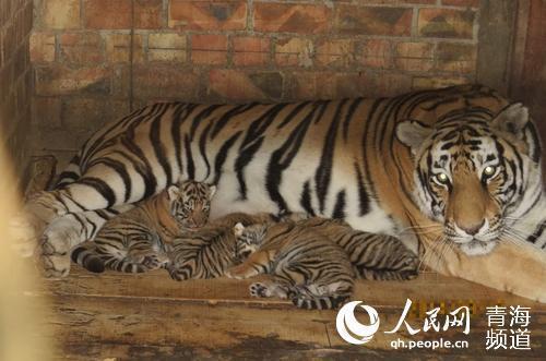 西宁野生动物园饲养的成年虎雄虎大头和雌虎花花曾成