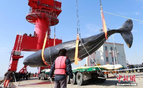 江苏搁浅抹香鲸已有一只成功打捞上岸 等待解剖