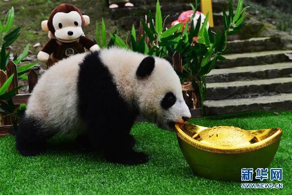 """太可爱了!大熊猫宝宝集体""""卖萌"""""""
