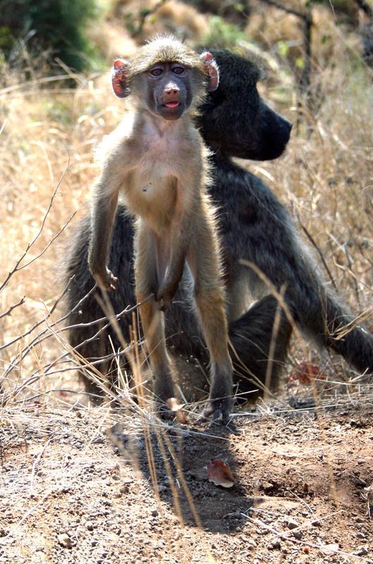 2016年7月28日报道,禁止拍照!野生动物摄影师William Scrooby在南非克鲁格国家公园中,拍摄几只散步的狒狒,比较搞笑的是,其中一只小狒狒好像是被摄影师按快门的声音给吓着了,只见它将手护在朋友的脸上,似是告诉摄影师这里禁止拍照,画面实在滑稽逗乐。东方IC    2016年7月28日报道,禁止拍照!野生动物摄影师William Scrooby在南非克鲁格国家公园中,拍摄几只散步的狒狒,比较搞笑的是,其中一只小狒狒好像是被摄影师按快门的声音给吓着了,只见它将手护在朋友的脸上,似是告诉摄影师