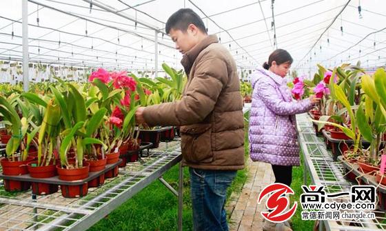 常德鼎城一兰花种植基地吸纳贫困户务工 带动当地经济发展
